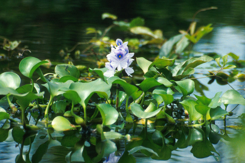 Aquatic plants tampa bay ponds rocks for Using pond water for plants